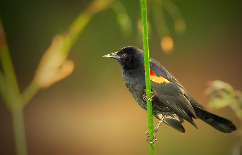 Red-winged Blackbird - Birds of Florida