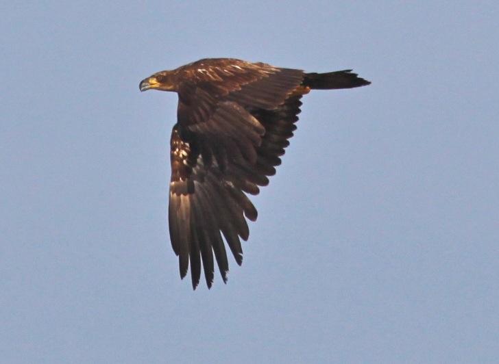 Bald Eagle -#2