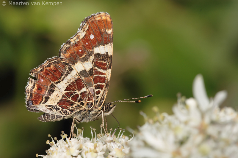 Map butterfly <BR>(Araschnia levana)