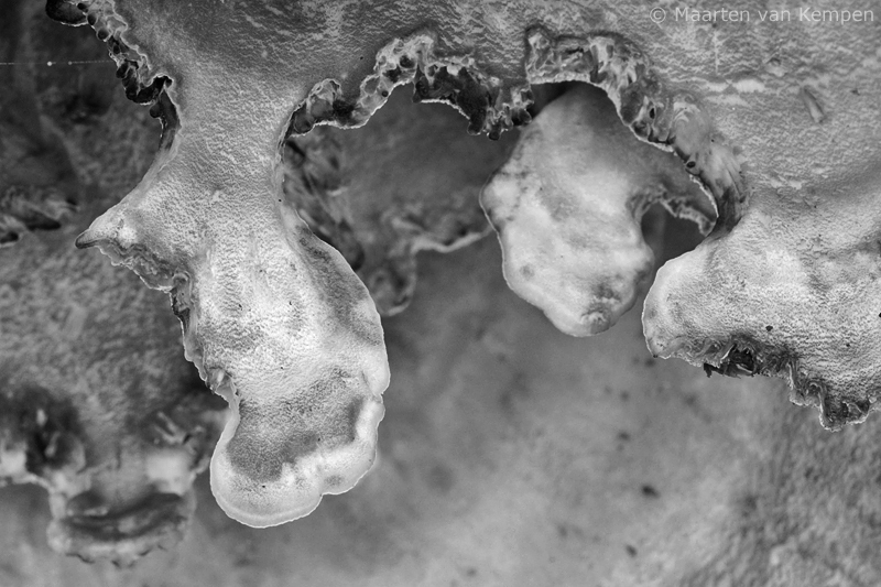 Giant polypore <BR>(Meripilus giganteus)