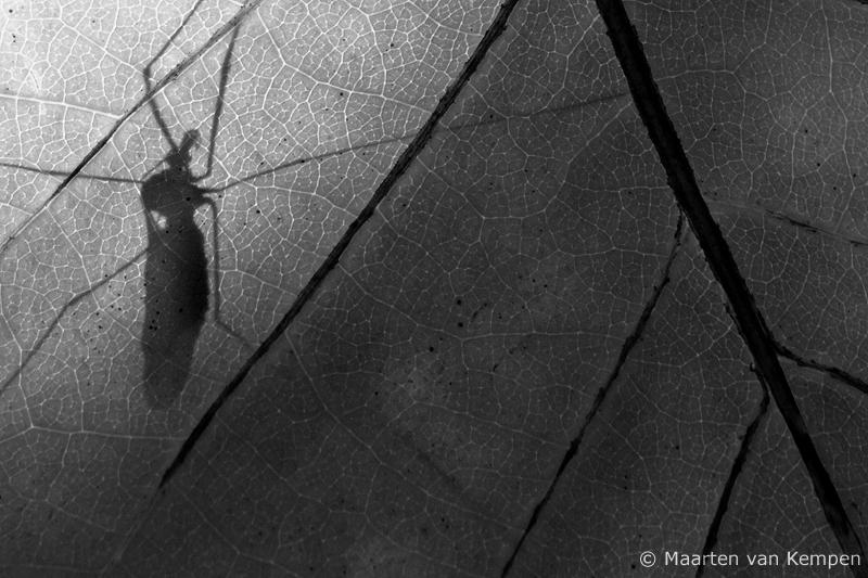 Crane fly  <BR>(Tipula oleracea)