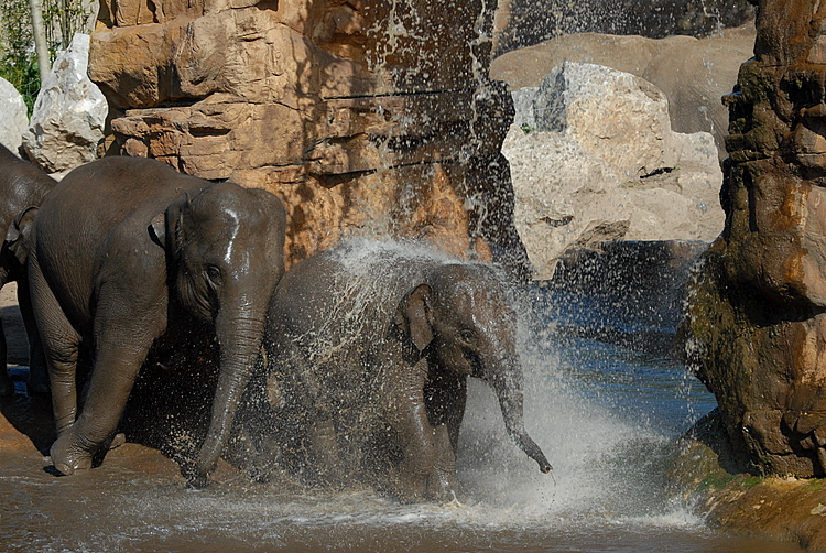 Elephants at Play Chester Zoo