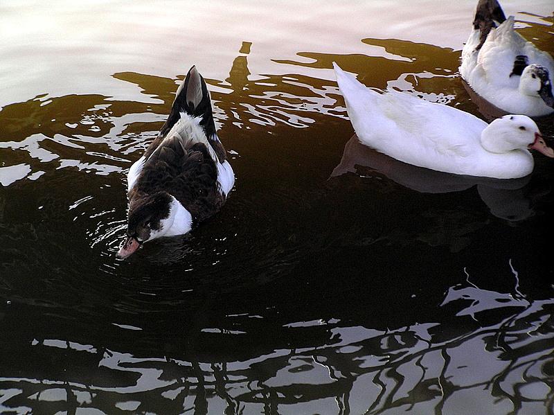 ducks2 yarkon.JPG