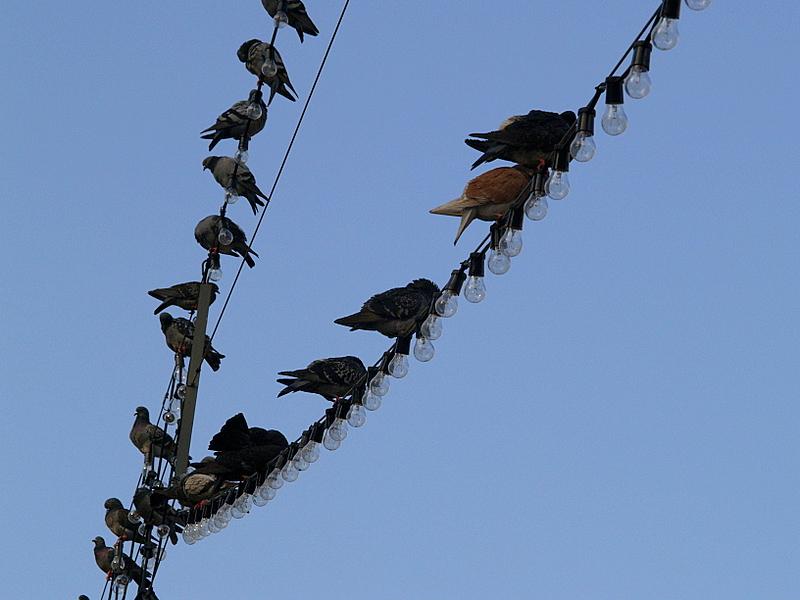 pigeons alighting kikar rabin1.JPG