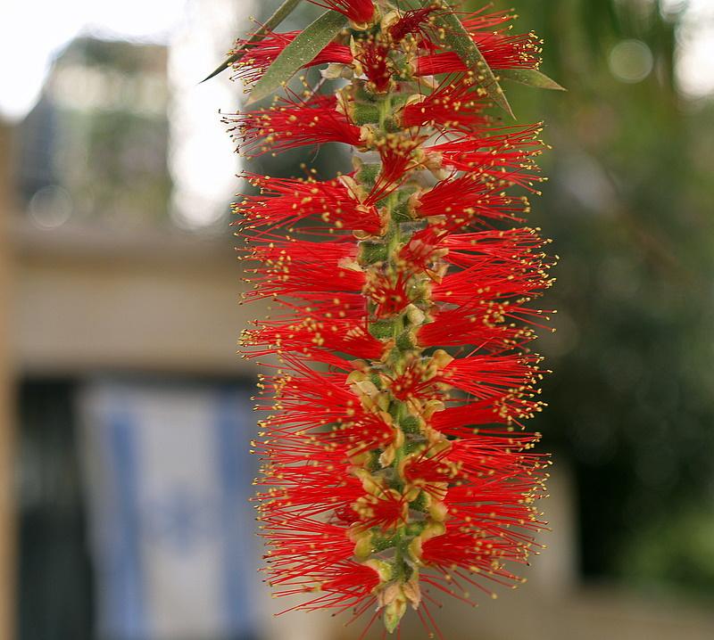 bottle brush flower1.JPG