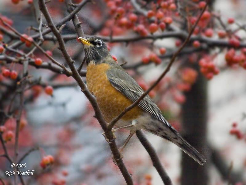November 13, 2006  -  Berry-eating Robin