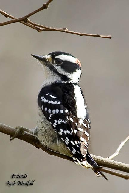 December 28, 2006  -  Downy Woodpecker