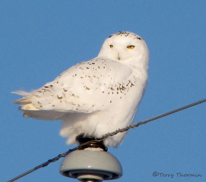 Snowy Owl juvenile male 1b.jpg