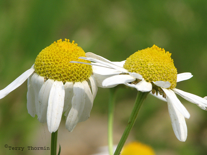 Scentless Chamomile 7a.jpg