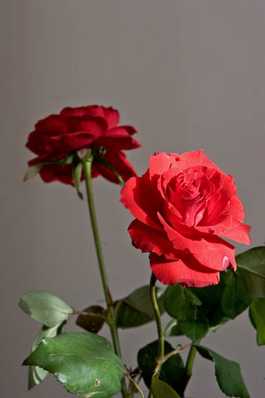 Red Roze