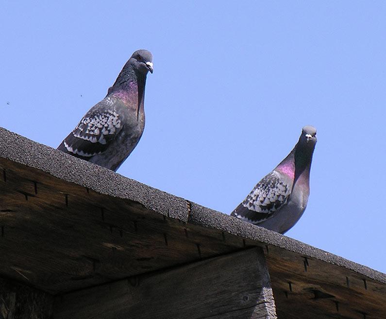 Rock Dove (Domestic Pigeon)