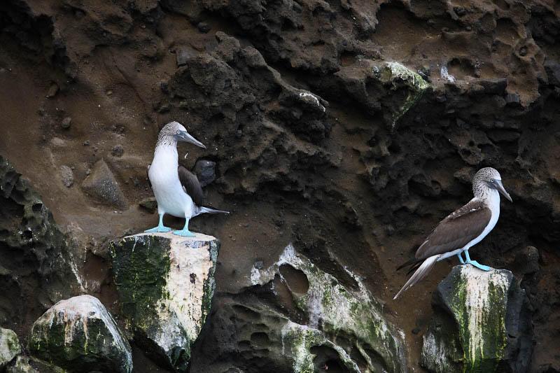 Blue-footed boobies near Tagus Cove, Isabela Island