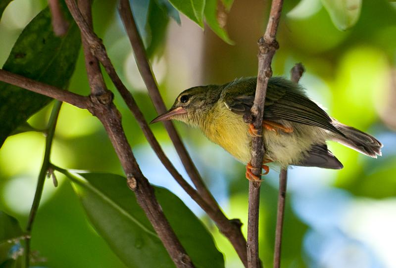 Common tailorbird (juvenile)