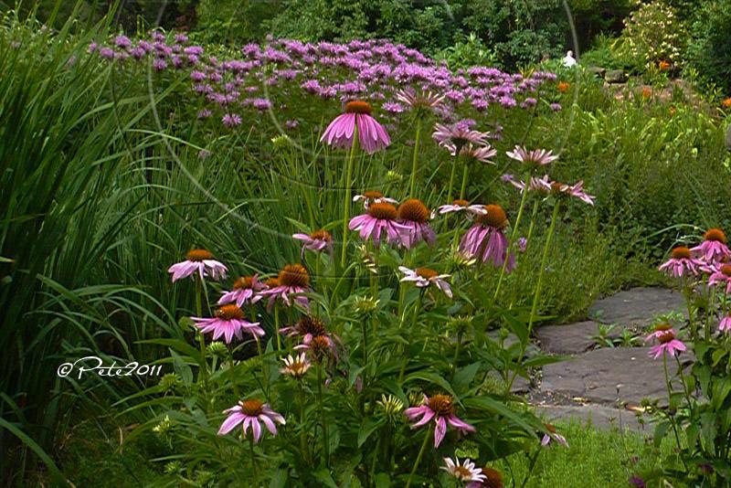 Purple Coneflower Path
