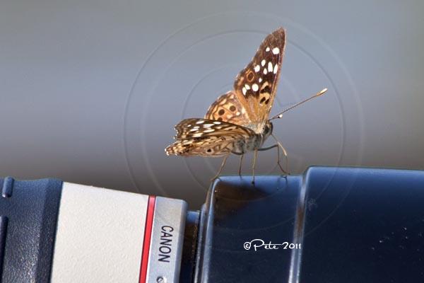 Butterfly tasting the lens