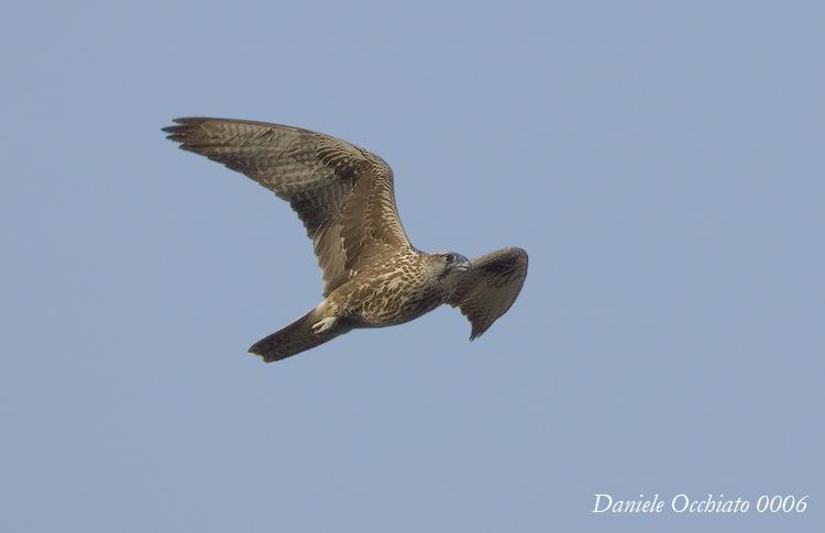 Saker (Falco cherrug)