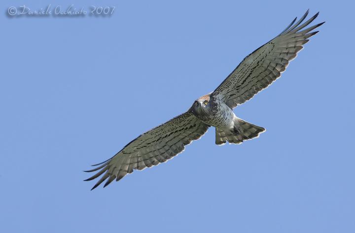 Short-toed Eagle (Circaetus gallicus)