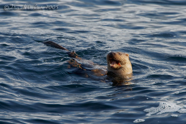 Common Otter (Lutra lutra)