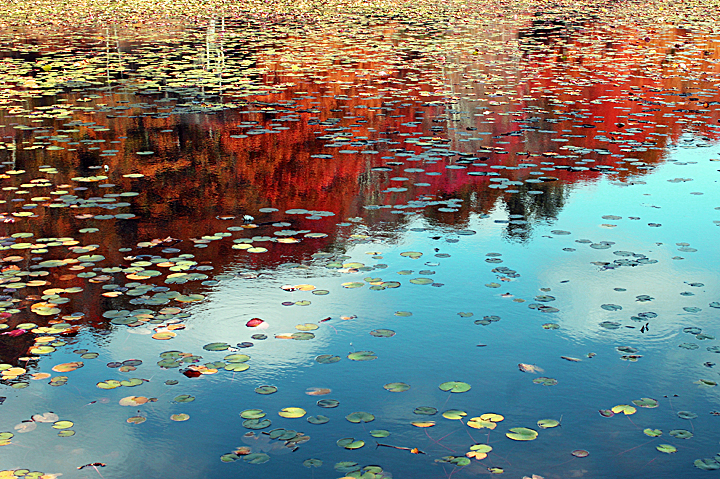 Lily Pads in Autumn.jpg