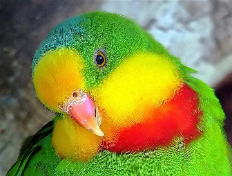 Superb Parrot.jpg