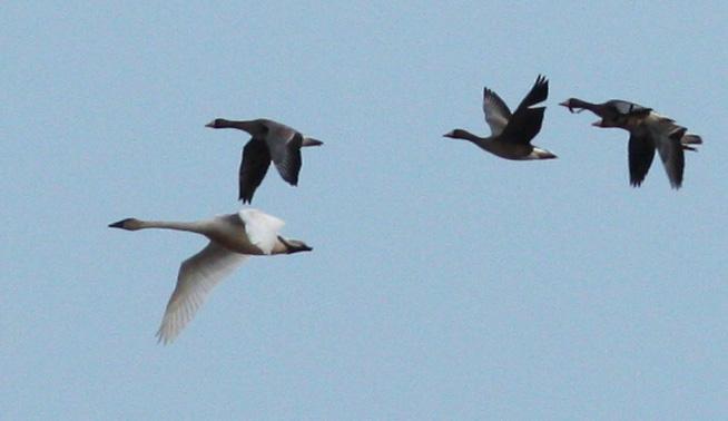 Gladu.Swan1.jpg