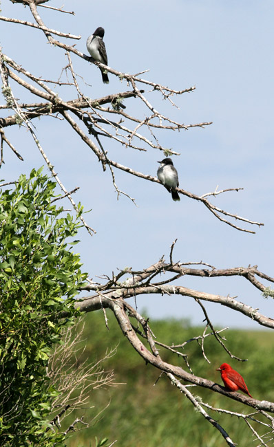 Kingbirds and Tanager, Cameron Parish, 4/21/12