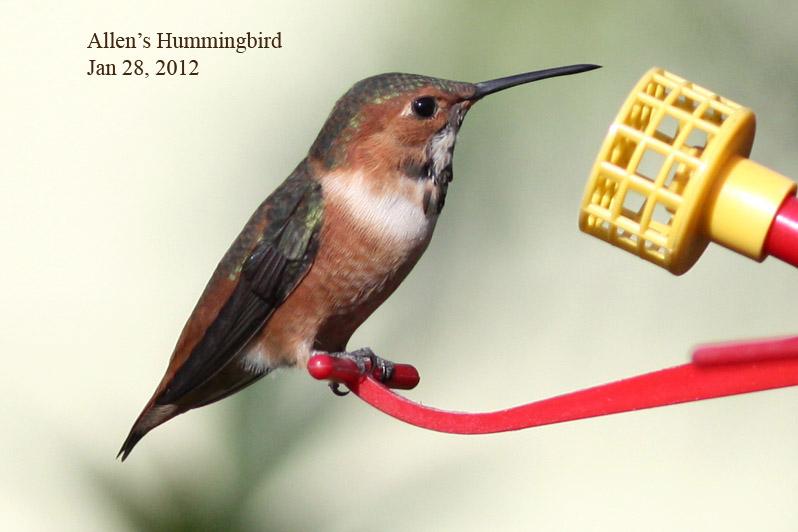 Allens Hummingbird, 1/28/12