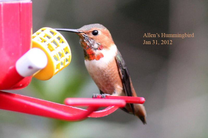 Allens Hummingbird, 1/31/12