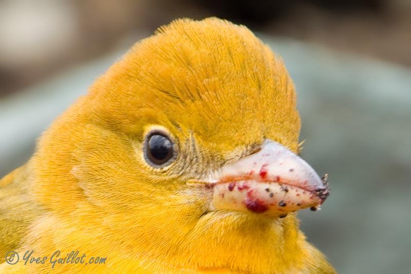 Piranga vermillon femelle #4882.jpg