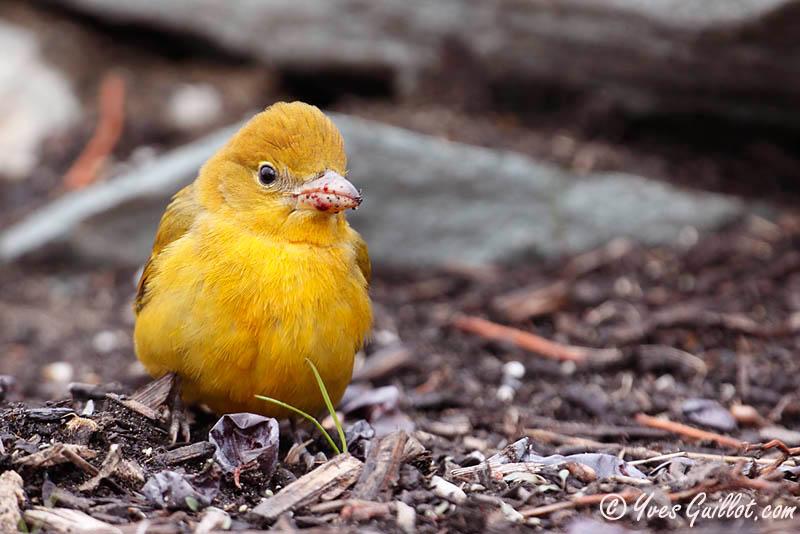 Piranga vermillon femelle #4882 - profil SRGB.jpg