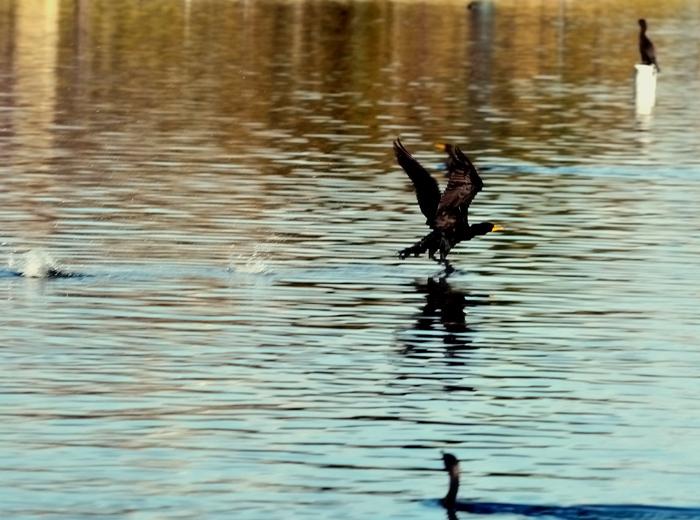 9860   Cormorant taking off