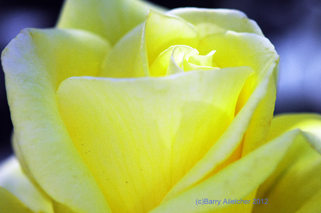 Macro Yellow Rose