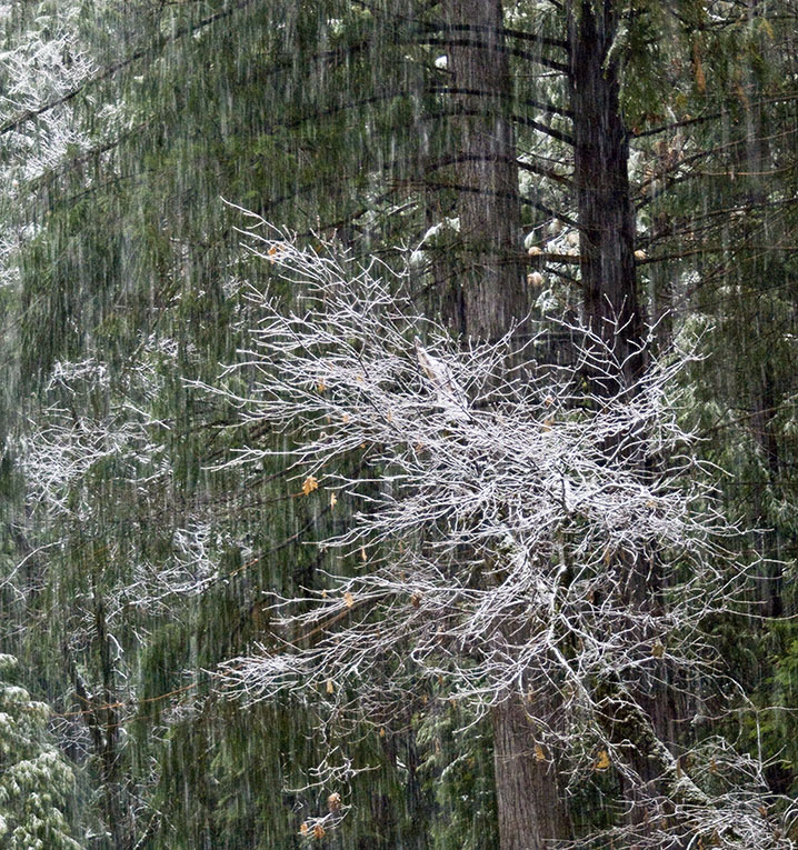 <B>White Tree</B> <BR><FONT SIZE=2>Yosemite National Park, February 2008</FONT>