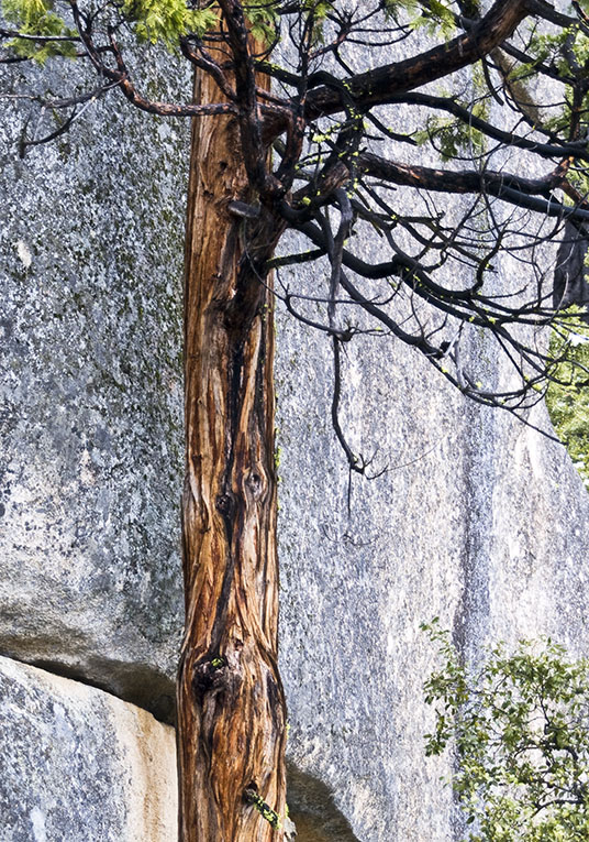 <B>Granite Tree</B> <BR><FONT SIZE=2>Yosemite National Park, February 2008</FONT>