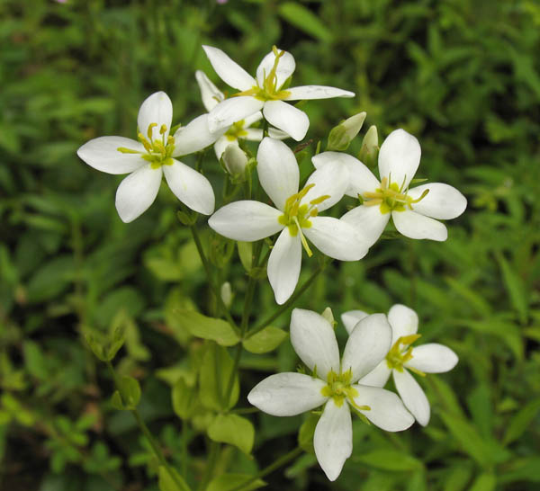 Sabatia angularis var alba