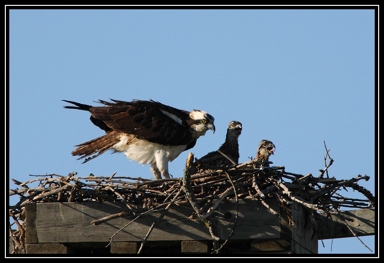 Osprey female and two chicks