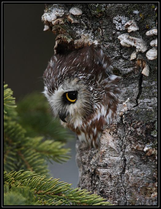 Northern Saw Whet Owl (captive)