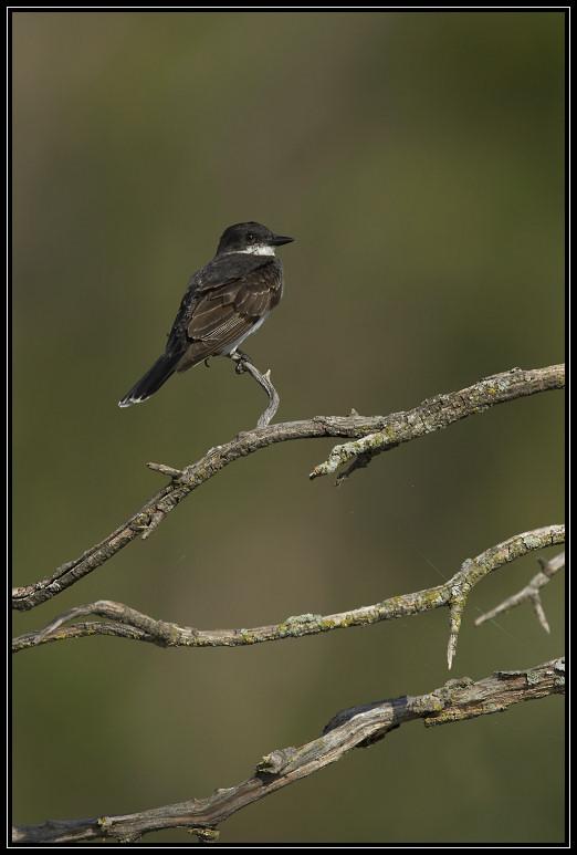 Eastern Kingbird <div class=cr>&copy;  Liz Stanley</div>