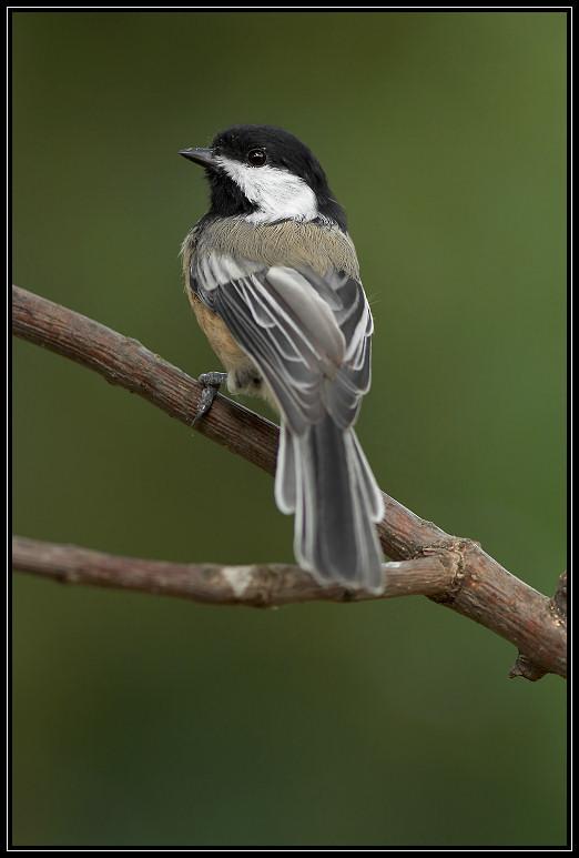 Black-capped chickadee <div class=cr>&copy;  Liz Stanley</div>