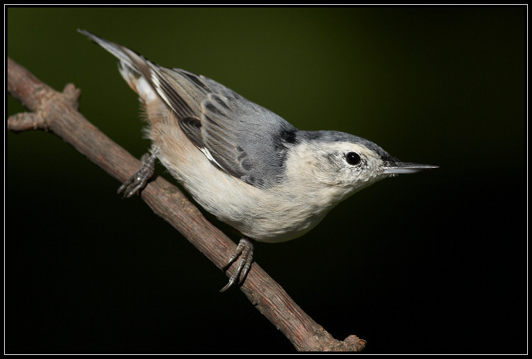 White-breasted nuthatch <div class=cr>&copy;  Liz Stanley</div>