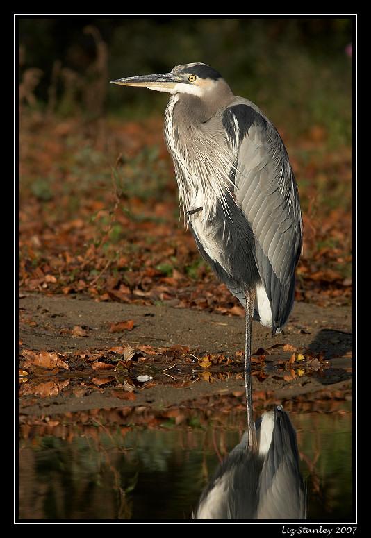 Great blue heron <div class=cr>&copy;  Liz Stanley</div>