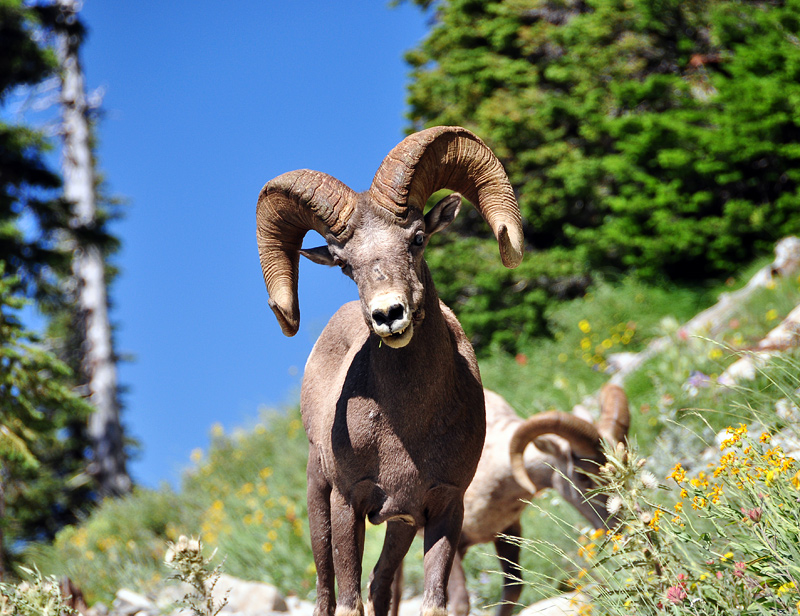 Bighorn Sheep along Highline Trail, Study #4
