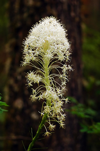 Beargrass study #1