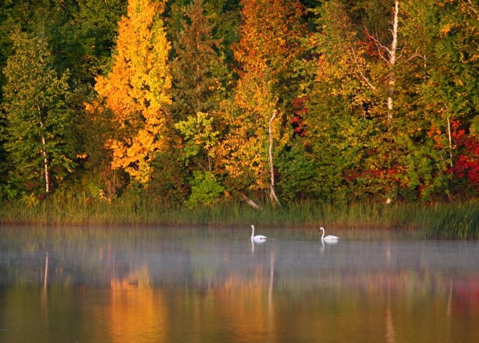 Trumpeter Swans 1202