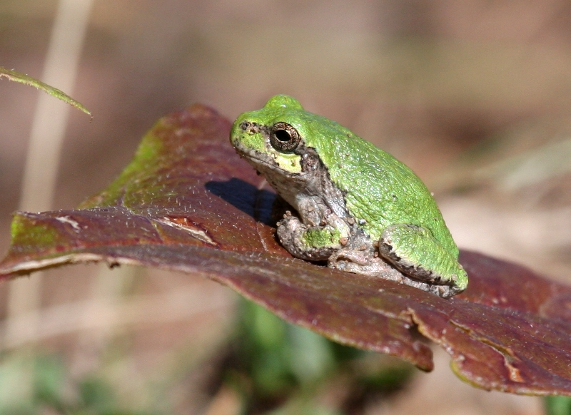 Eastern Gray Treefrog 3073