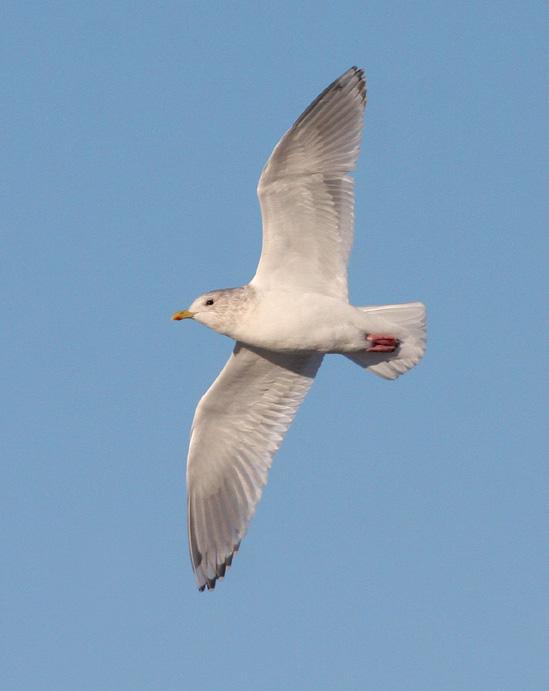 Thayers/Kumliens Gull 5168