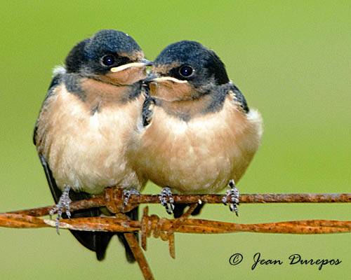 Barn Swallows (fledglings)