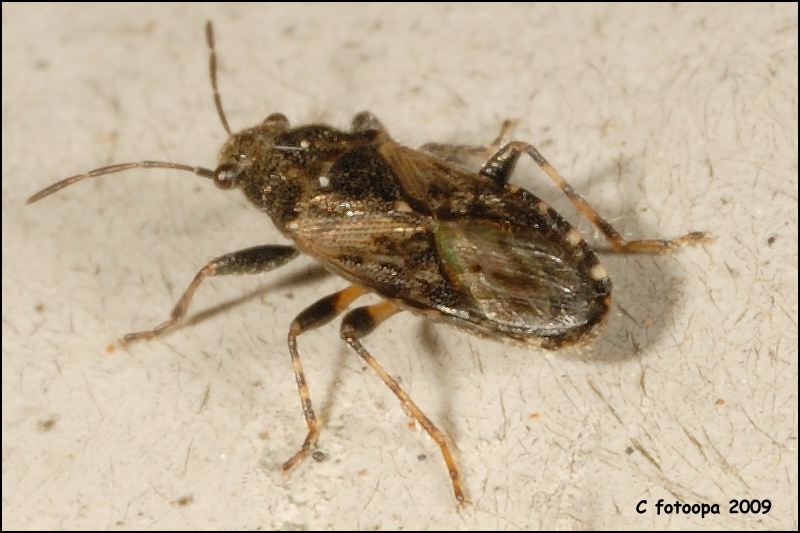 fotoopa 23518 - Heterogaster urticae.