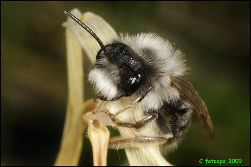 D300365 Andrena vaga - Grijze zandbij
