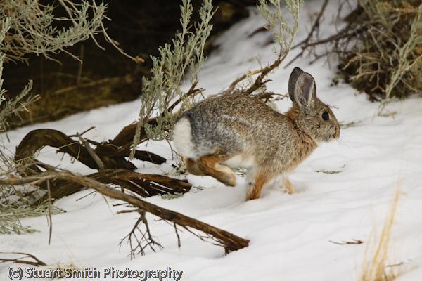 Cottontail Rabbit-2774